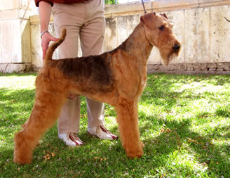 fred s'arraco airedales
